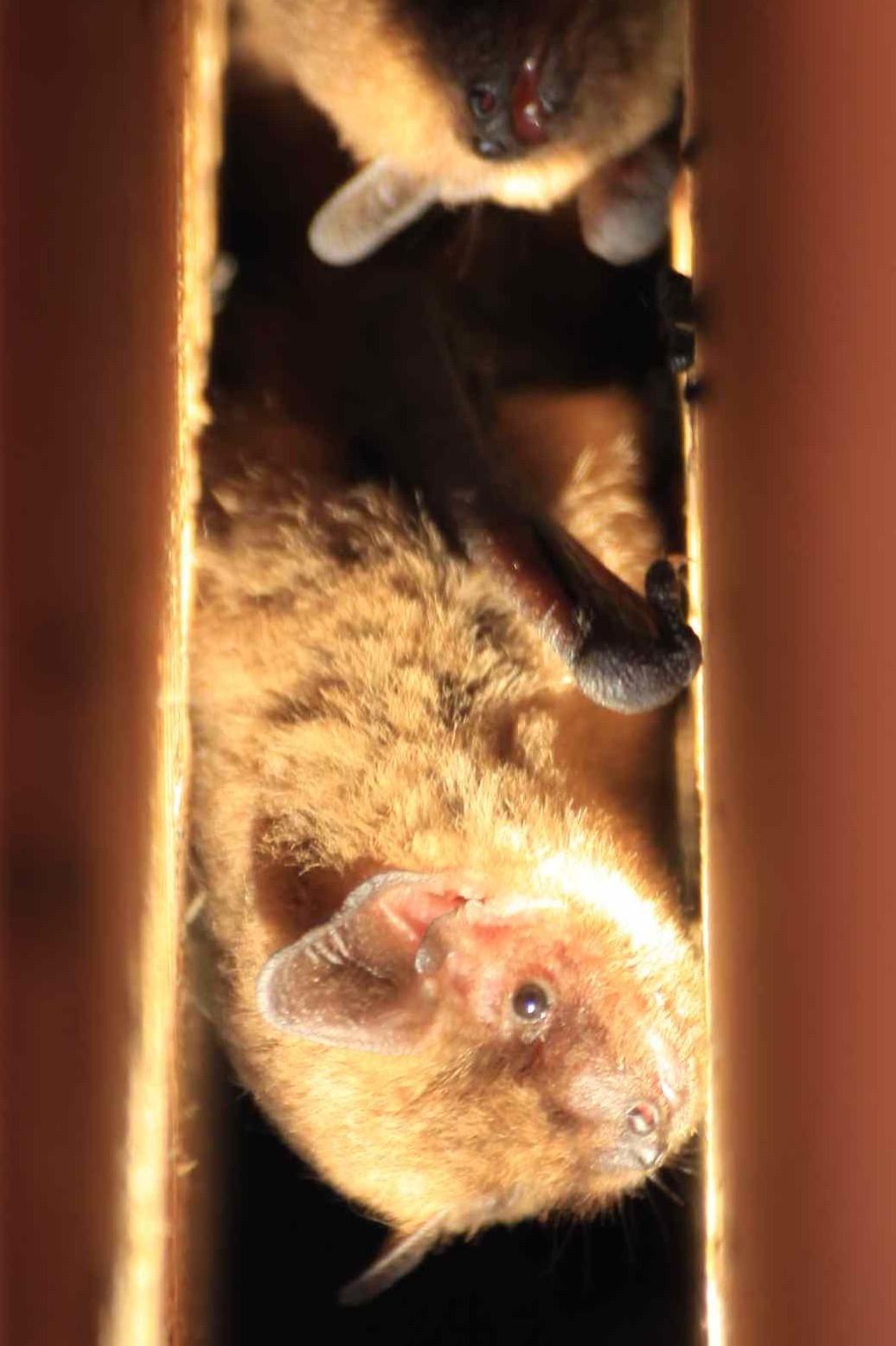 Fledermaus im Kasten         Foto: Katharina Brandstetter