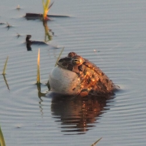 Die Wechselkröte genießt erste Sonnenstrahlen, Foto: U. Nüsken