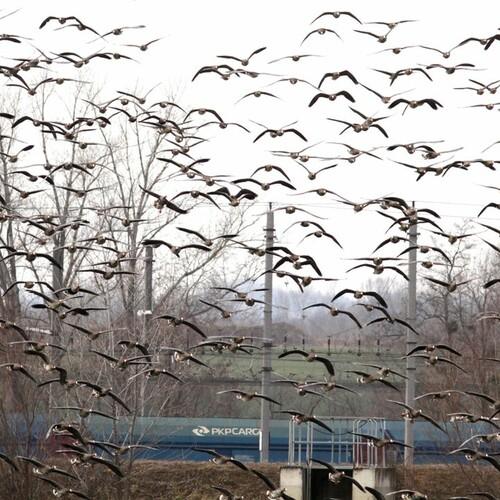 Hunderte Gänse im Anflug, Foto: M. Rössler