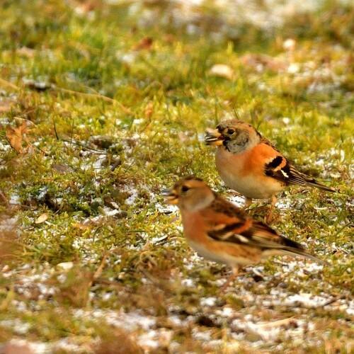 Bergfinken, Foto: H. Nüsken