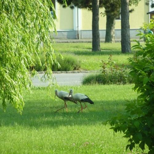 Störche im Park;  Foto: Herta Manas-Penz