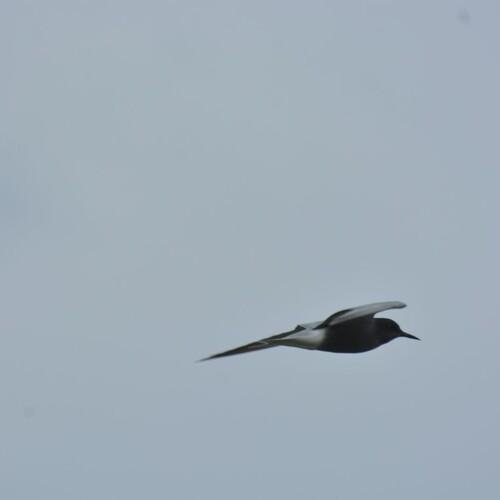 Trauerseeschwalbe, Foto: B. Jorrot